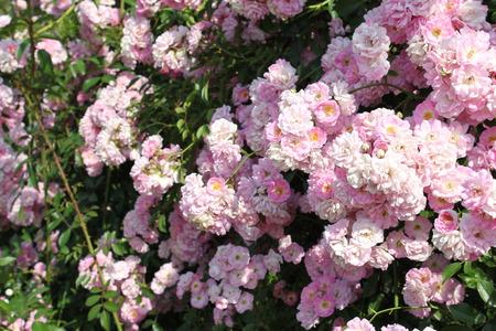 rose bush: rose bush Stock Photo