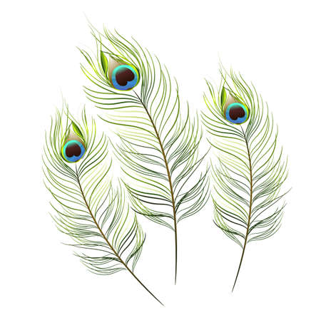 peacock feathers: vector peacock on white background.vector illustration