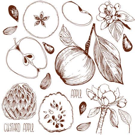 manzana: Dibujo a mano alzada. Ilustraci�n del vector. Esquema de una manzana, hoja, semillas de la manzana, flores, manzana y una manzana cortada. dibujado a mano. Chirimoya. Manzana crema incisi�n.