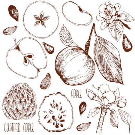 apple border: Freehand drawing. Vector illustration. Sketch of an apple, leaf, apple seeds, flowers, apple and a cut apple. drawn by hand. Custard apple. Incision cream apple. Illustration