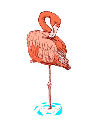curved leg: Hand-drawn sketch of a flamingo. Flamingo stands on one leg with a curved neck. Painted flamingo in color.
