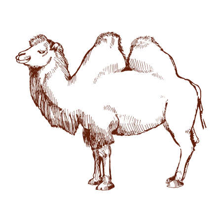 hardy: Hand-drawn sketch of a camel. Sketch the two-humped camel. Side view.