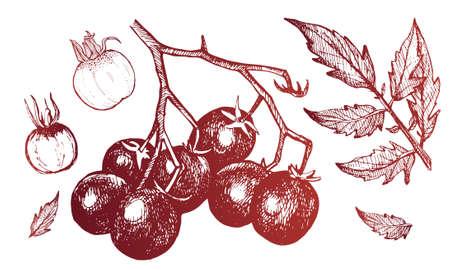 小さなトマトの手描きのスケッチ。トマト、葉、野菜トマトの束。美しいアウトライン、包装、デザイン、はがき、紙