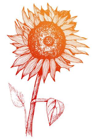 手描きのひまわり。茎と葉と花のスケッチ。広告、デザイン、包装します。