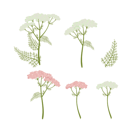 Vector illustration of medicinal yarrow on white isolated background. A template for the design of natural cosmetics, products for health.