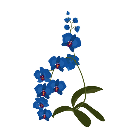 Blue orchid phalaenopsis exotic tropical flower inflorescence isolated on white background. Flowering plant with buds, stem, green leaves. Detailed realistic vector design illustration.