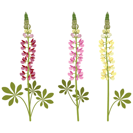 Set of lupine flowers on a white isolated background. Template for postcards, cosmetics, web design. Vettoriali
