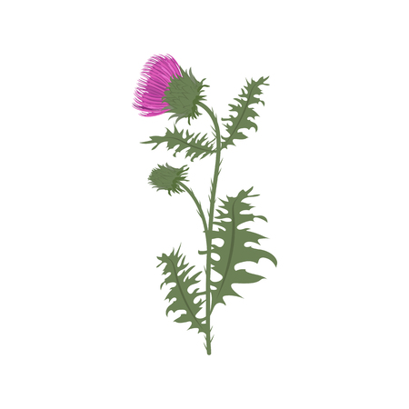 Vector illustration of a thistle on a white isolated background. Template for web design, medicine and cosmetics. Illustration