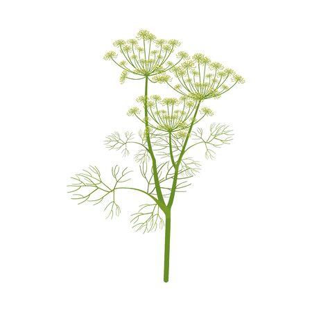 Illustrazione vettoriale. Ramo di aneto su sfondo bianco isolato. Modello per decorare imballaggi in cucina, medicina, web design. Vettoriali