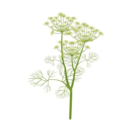 Vector illustration. Dill branch on white isolated background. Template for decorating packaging in cooking, medecine, web design. Illustration