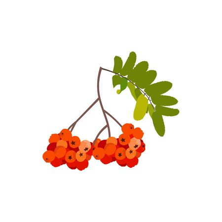 Vector illustration. Rowan branch on a white isolated background. Template for greeting card, cover, cosmetics, web design.