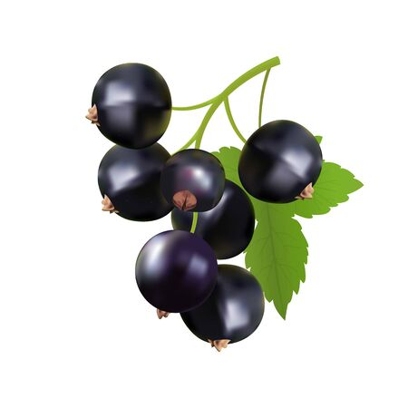Vector illustration of a branch of black currant on a white isolated background. Template for postcard, poster, web design. Vektorgrafik
