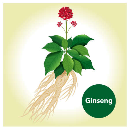 Ginseng root with leaf and flower. Vector illustration. Ilustracja