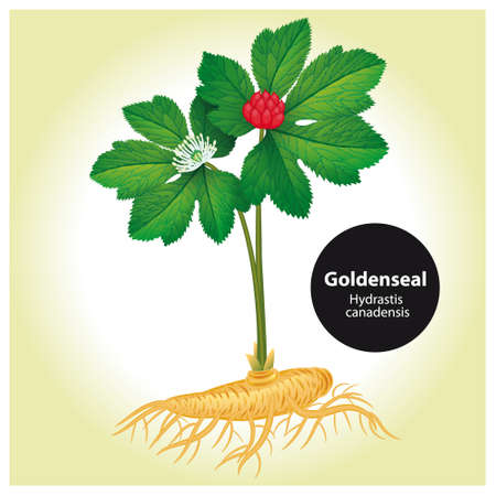 Goldenseal (Hydrastis canadensis) with leaf and flower.