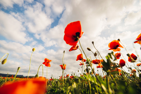 Big beautiful red poppies against the blue sky. Selective focus