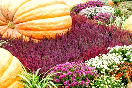 Large pumpkins, heather, beautiful autumn flowers decor for the harvest festival. Fertility and fertility concept