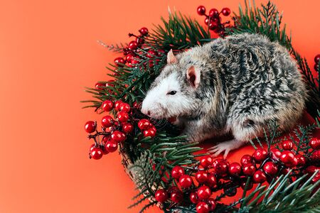 Gray-white beautiful thoroughbred rat sitting in a Christmas wreath of coniferous branches and red berries. The symbol of the New Year 2020 according to the Chinese eastern calendar. Place for text