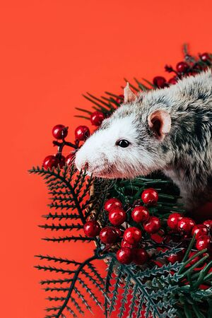 Gray white beautiful thoroughbred rat laying in a Christmas wreath of coniferous branches and red berries. The symbol of the New Year 2020 according to the Chinese eastern calendar. Place for text