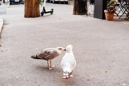 Two seagulls walking on the asphalt in the city. Love concept Valentines Day. Selective focus