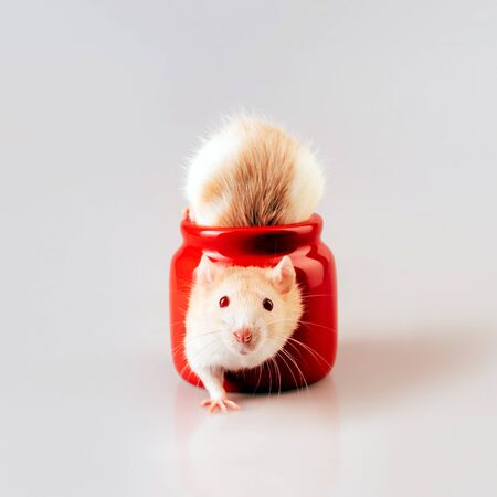 A light beige rat sitting in a red candlestick with a heart shaped window. The concept of Valentines Day in the year of the rat according to the Chinese calendar. Place for text Stockfoto