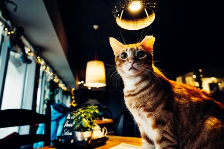 A beautiful purebred cat sitting on a table by the window in the backlight in cat cafe. The concept of love couples and valentines day Stockfoto