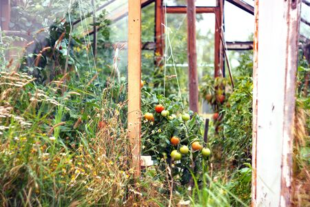 Homemade rustic greenhouse made of glass and old boards with green and red tomatoes growing inside. Summer rural landscape. Harvest and harvesting time for winter