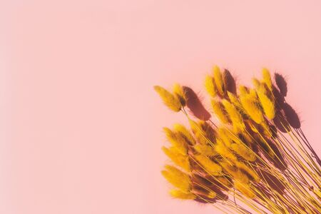 Dried yellow ears of corn lying on a pink background. Dried flowers for different design purposes. Concept of spring, summer, mother day, women day march, wedding wallpaper. Selective focus