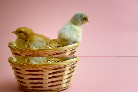 Cute yellow chicken with easter nest or basket with pink background Standard-Bild - 124808581