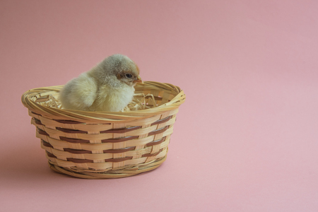 Cute yellow chicken with easter nest or basket with pink background Stock Photo