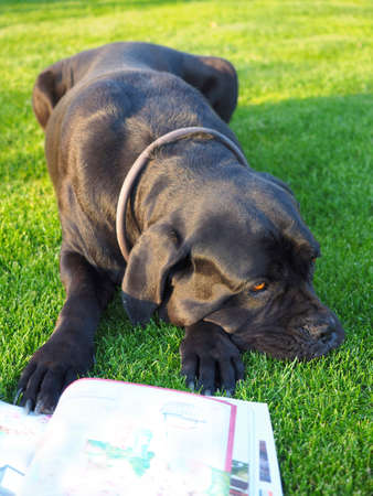 Black Cane Corso, italian dog lying on grass and reading magazine.