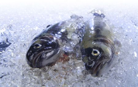 Two fresh trouts are cooled on ice. photo