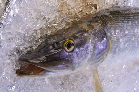 A fresh pike is cooled on ice. photo