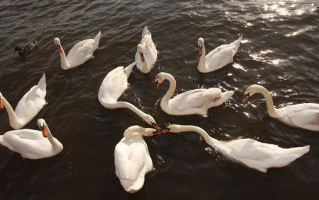 morsel: A group of swans fighting over a tasty morsel.