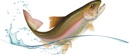 Rainbow trout is jumping with water splash.  Vector illustration. Vectores