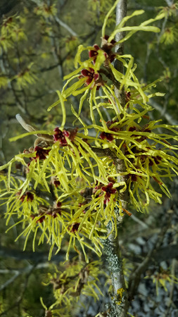 Close Up of Witch-Hazel Hamamelis Branch with Flowers
