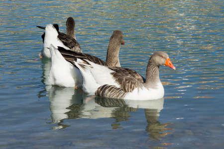 hree ducks on a lake photo