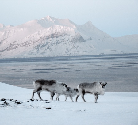mountains of Spitsbergen, mountains of Svalbard, Reindeers
