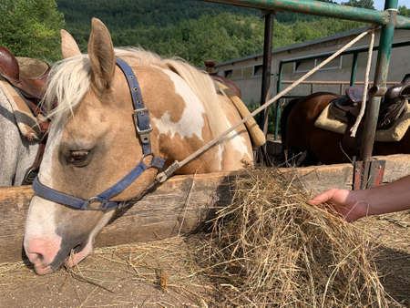 horse in the fence eating hay. 免版税图像