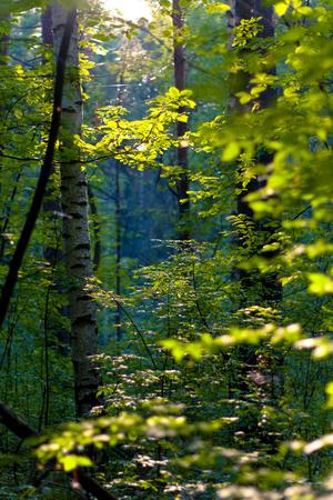 Birch forest in Russia