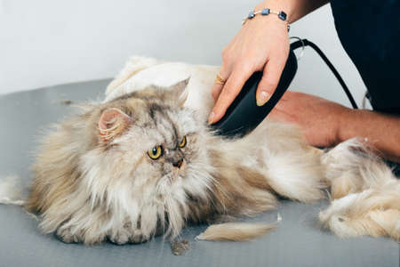 Cat grooming in pet grooming salon. Woman uses the trimmer for trimming fur. Imagens - 93604433