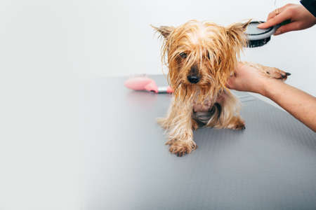 Wet Yorkshire Terrier After Bathing At The Grooming Salon Selective