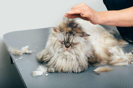 sleeping cat, during haircuts in grooming salon, selective focus on cat face Zdjęcie Seryjne