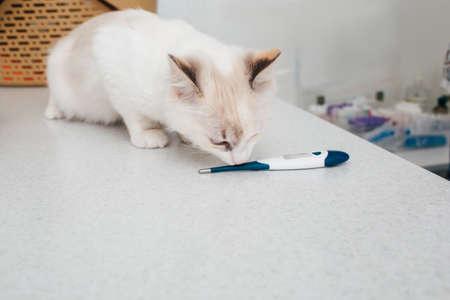 cat, temperature measurement, in a veterinary clinic