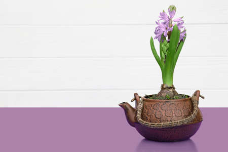 violet flowers in a pot in the form of a teapot, house plants standing on a violet table on the background white wooden wall with copy space for text. Spring time, blossom and Flower gift