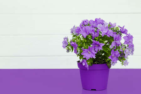 violet flowers in a pot, house plants standing on a violet table on the background white wooden wall with copy space for text. Spring time, blossom and Flower gift