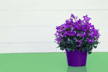 violet flower in a pot , house plants standing on a turquoise table on the background white wooden wall with copy space for text. Spring time, blossom and Flower gift