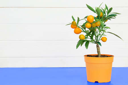 orange tree in a pot, on a white wooden background. Minimalism, copy space