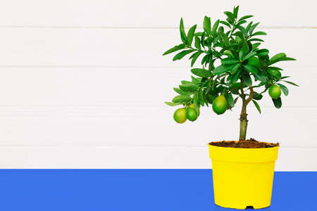 lemon Tree in a pot, on a white wooden background. Minimalism, copy space