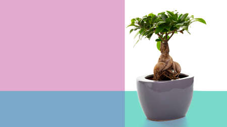 small bonsai tree on a beautiful ceramic pot on a turquoise-pink background, with space for text.
