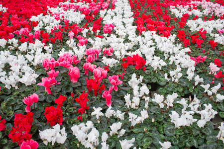 Plantation with flowers, cyclamen, top view. Commercial cultivation of flowers in a greenhouse